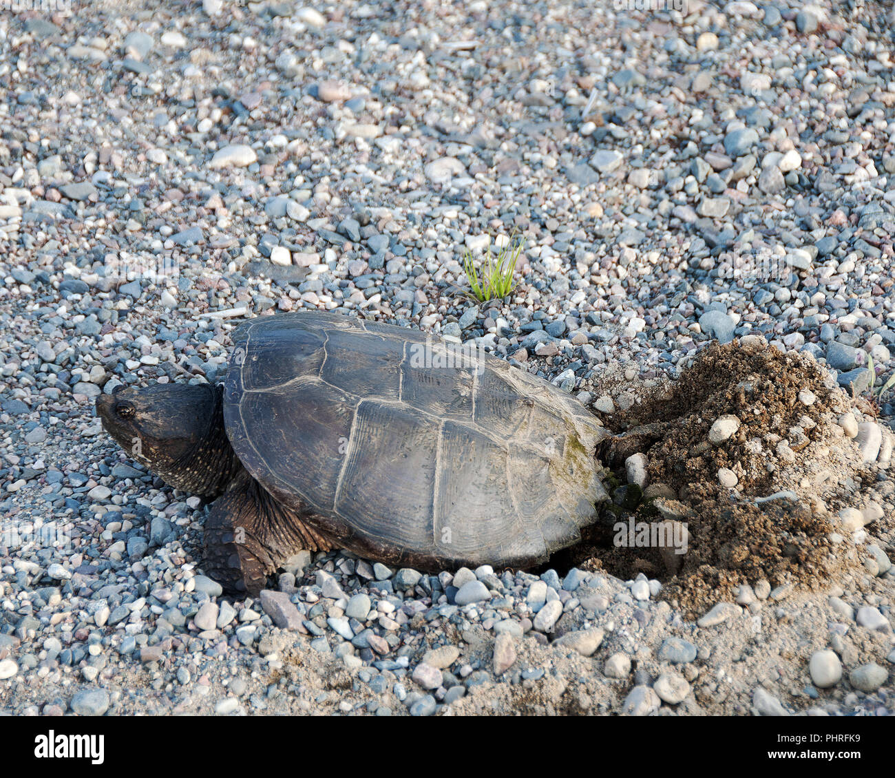 Snapping turtle ponding in its environment. Stock Photo