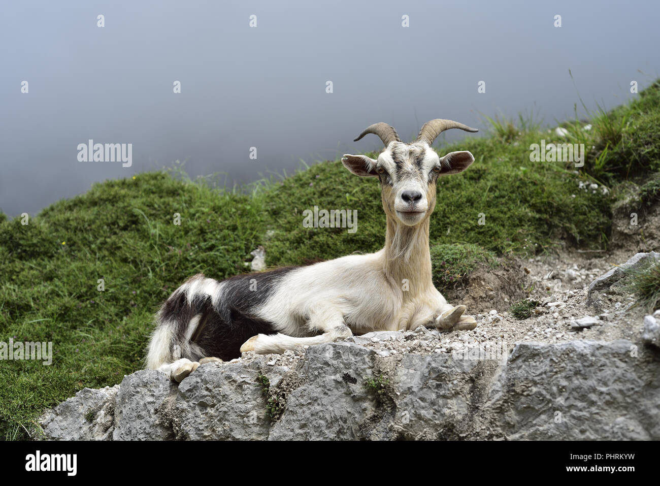 Mountain goat in the Cares Gorge linking Poncebos and Cain in the Picos de Europa, Northern Spain - Stock Image