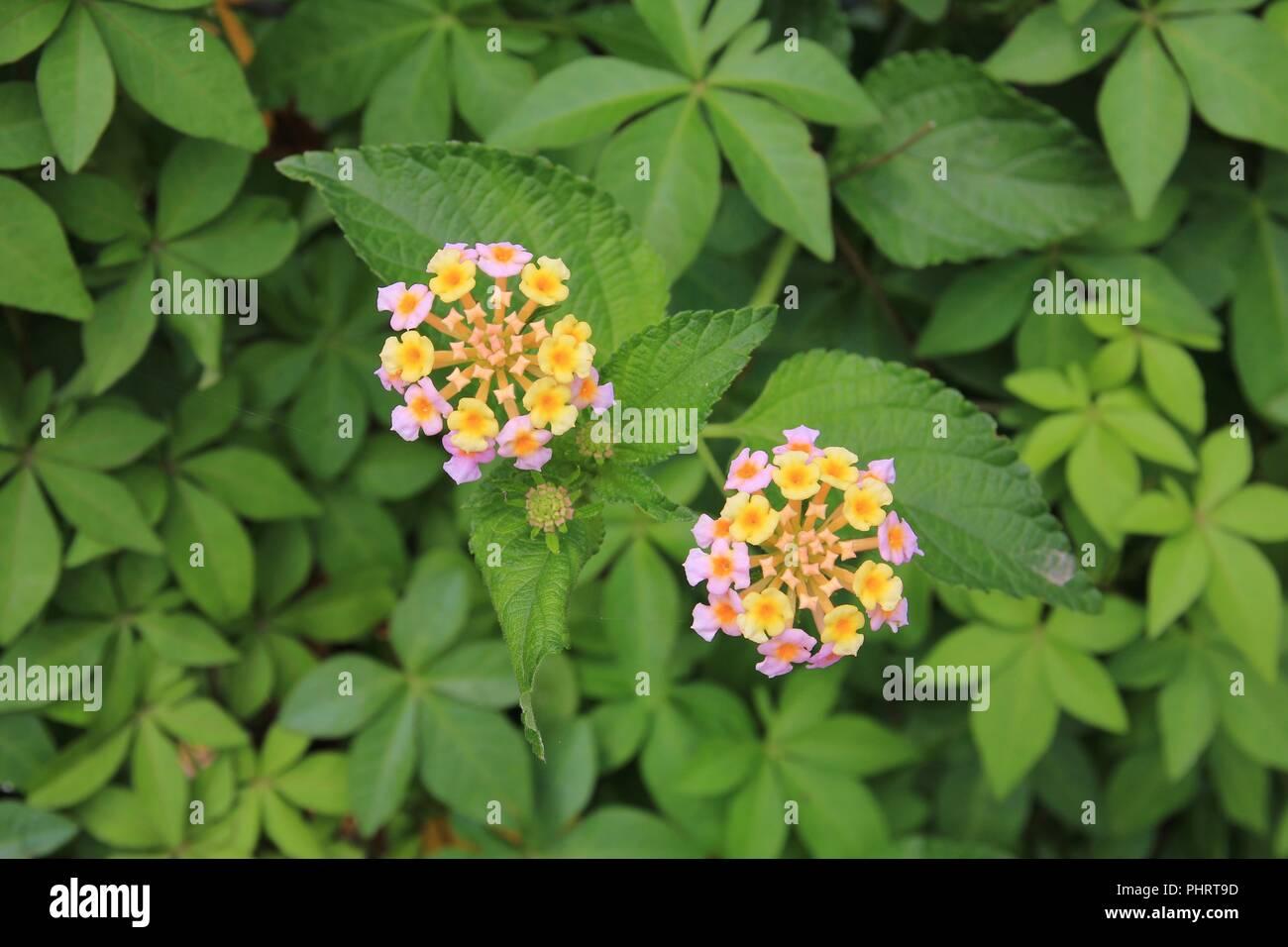 Lantana camara, wildflower. Stock Photo