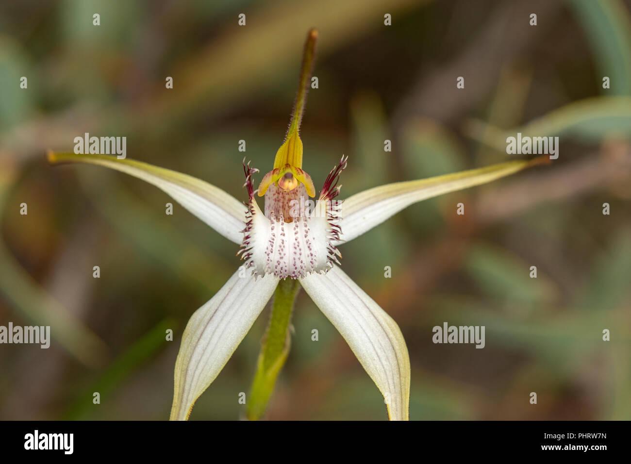Caladenia longicauda ssp. eminems, Stark White Spider Orchid - Stock Image
