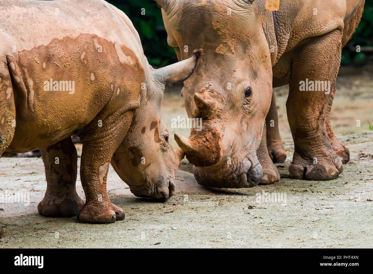 White Rhinos - Stock Image