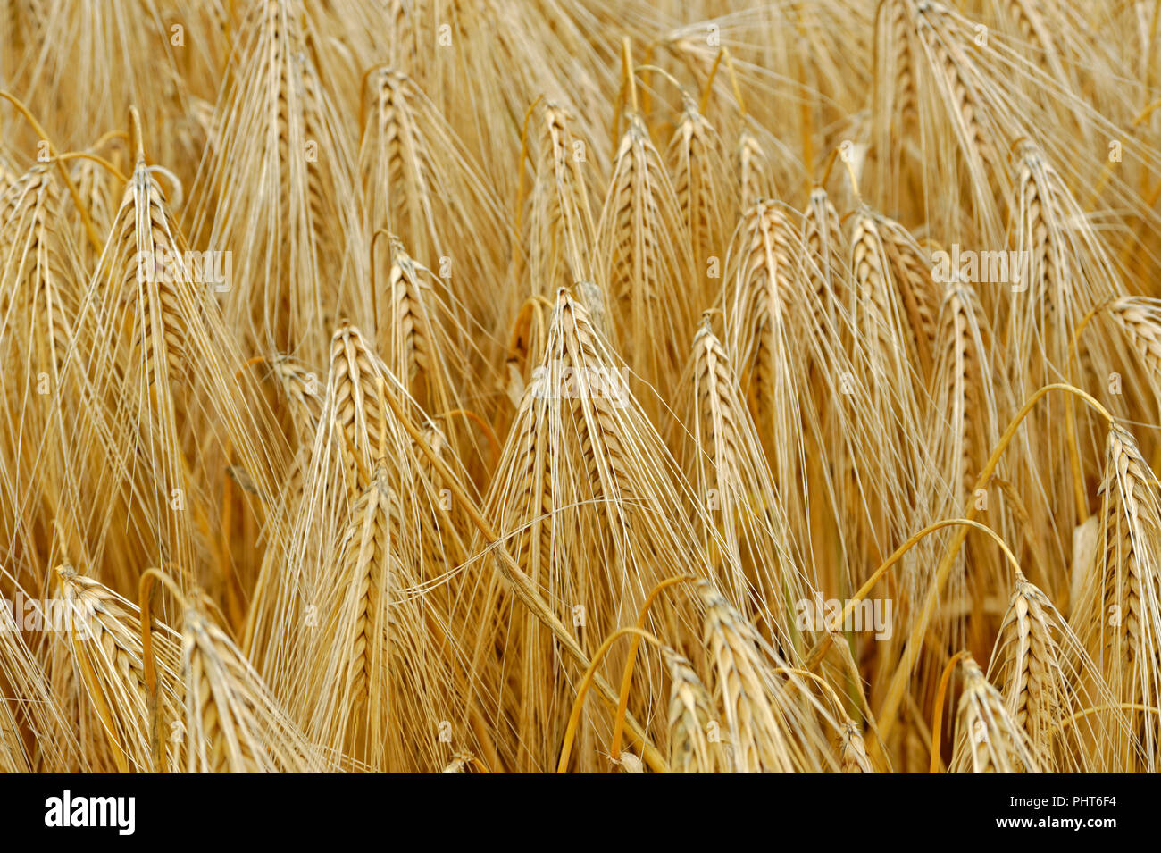 Field of wheat growing in the uk - Stock Image