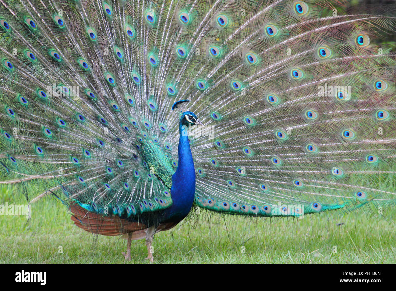 Mating display of a peacock. - Stock Image