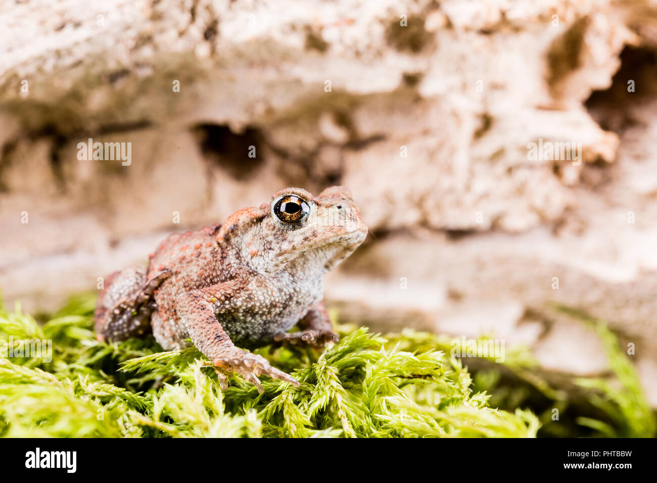 Common toad in late summer/early autumn in mid Wales - Stock Image