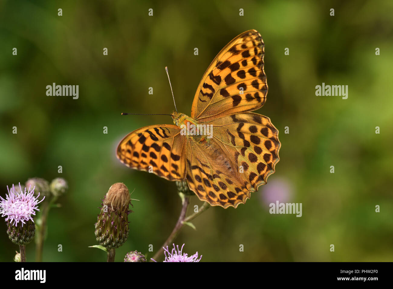 silver-washed fritillary, butterfly, Argynnis paphia, - Stock Image