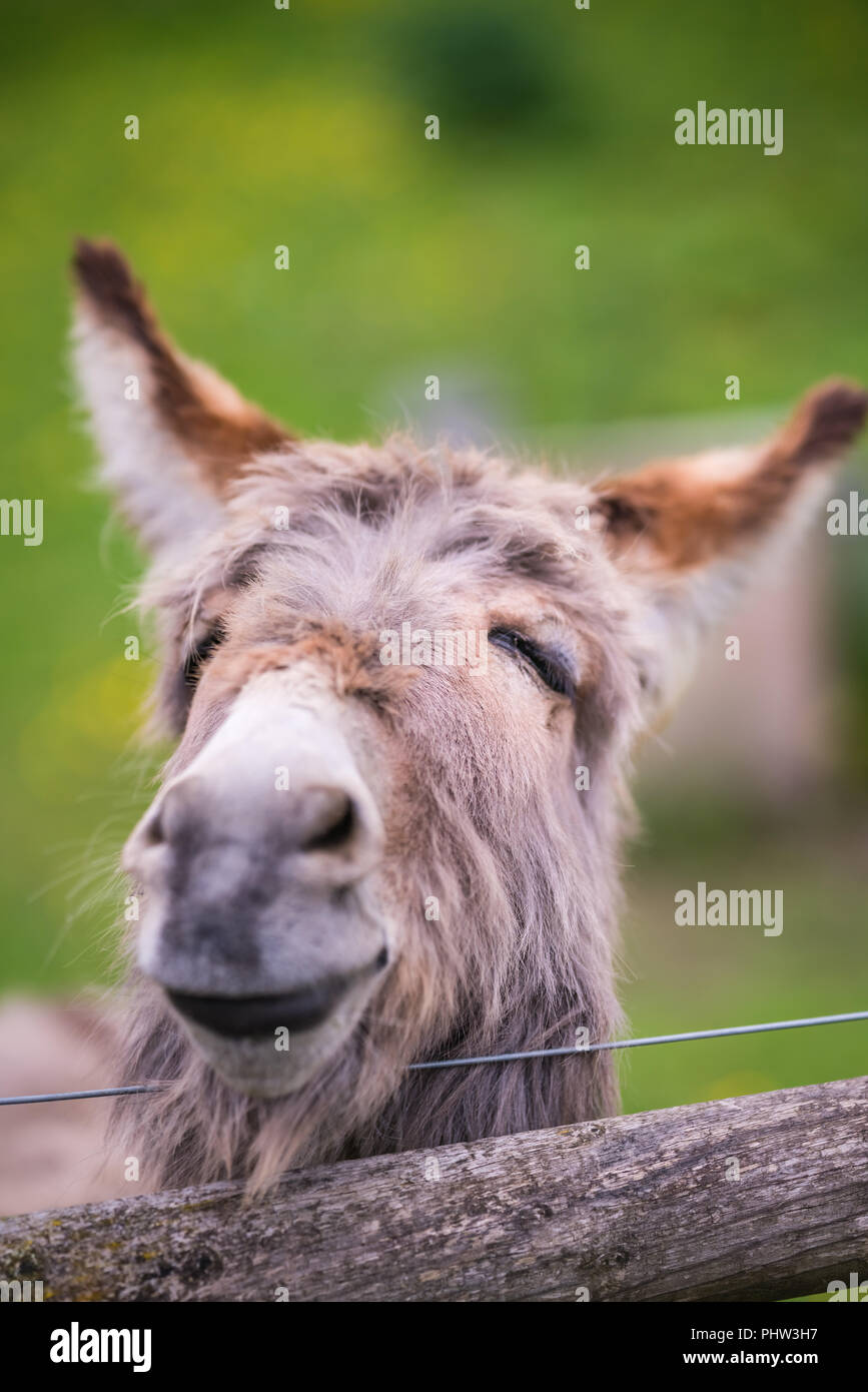 Closeup of a face of a furry donkey - Stock Image
