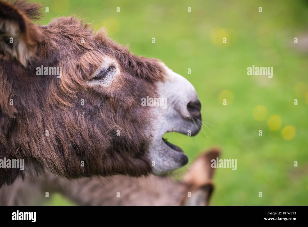 Large furry donkey shouting loudly - Stock Image