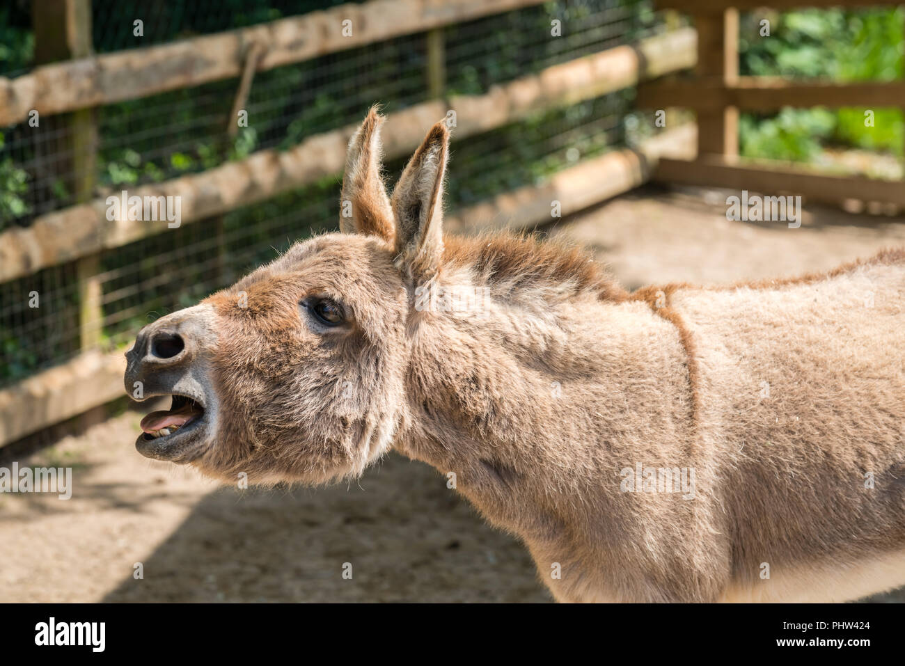 Large furry donkey shouting loudly - Stock Image