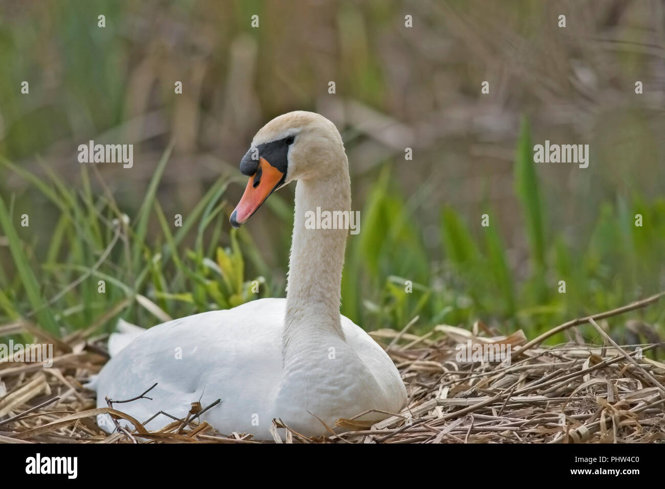 Male mute swan sitting on nest photographed at eye level facing to the right. Stock Photo