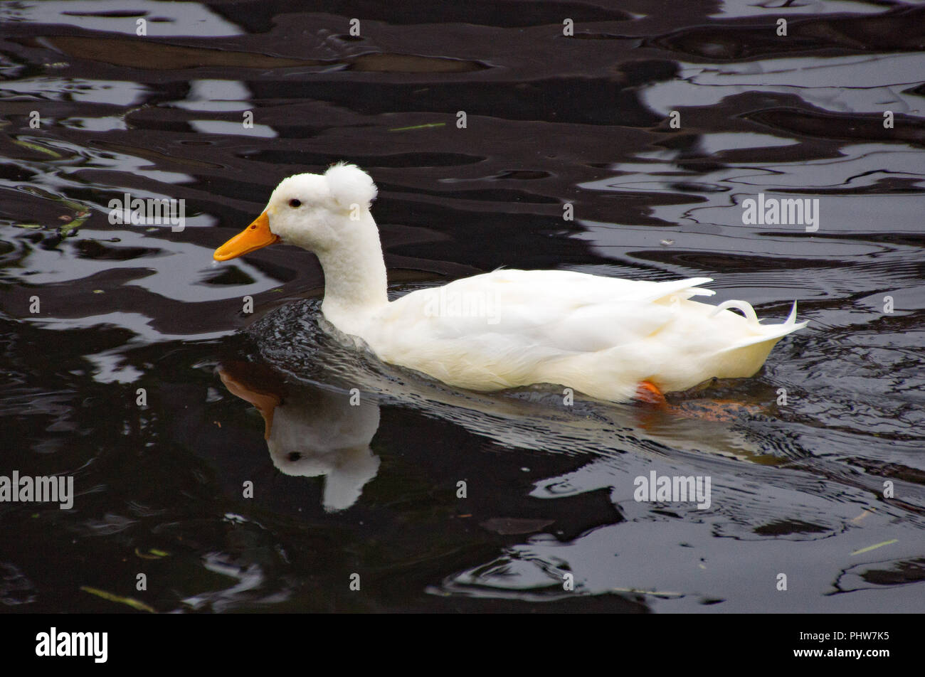 White crested duck, or Anas platyrhynchos domesticus, on River Stort in Sawbridgeworth - Stock Image