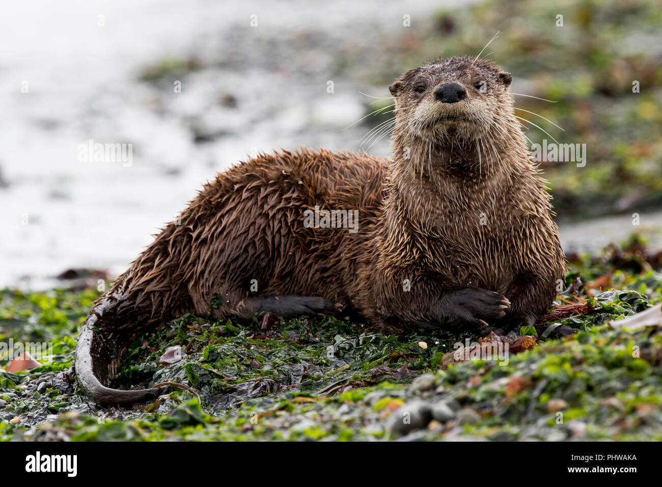 River otter, Lontra canadensis, on Port Townsend beach. Stock Photo