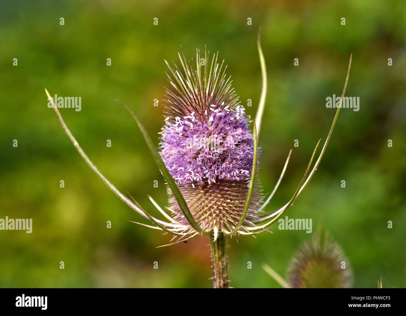 fuller's teasel, wild teasel, - Stock Image