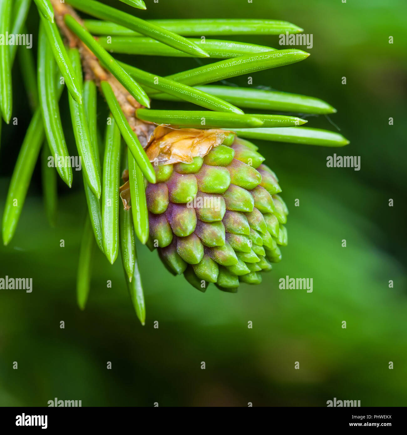 Green Fir Pine Conifer Cone Sprout Macro - Stock Image