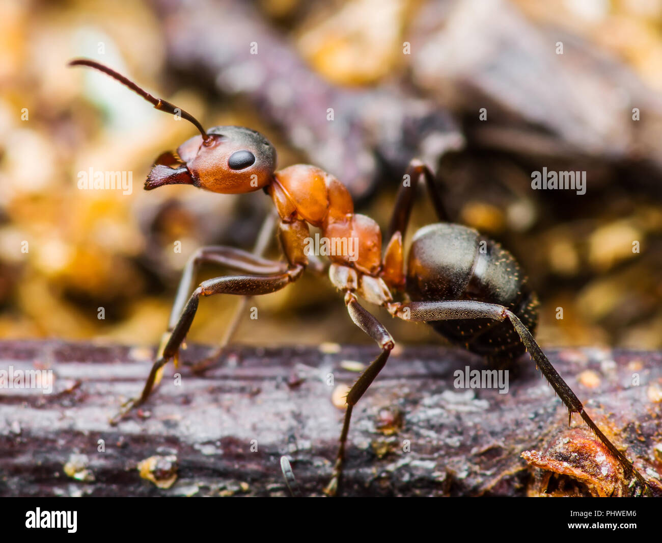 Red Ant Insect Macro - Stock Image