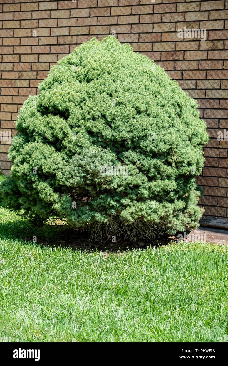 A dwarf mounding Picea,Picea glauca, white spruce. Wichita, Kansas, USA. - Stock Image