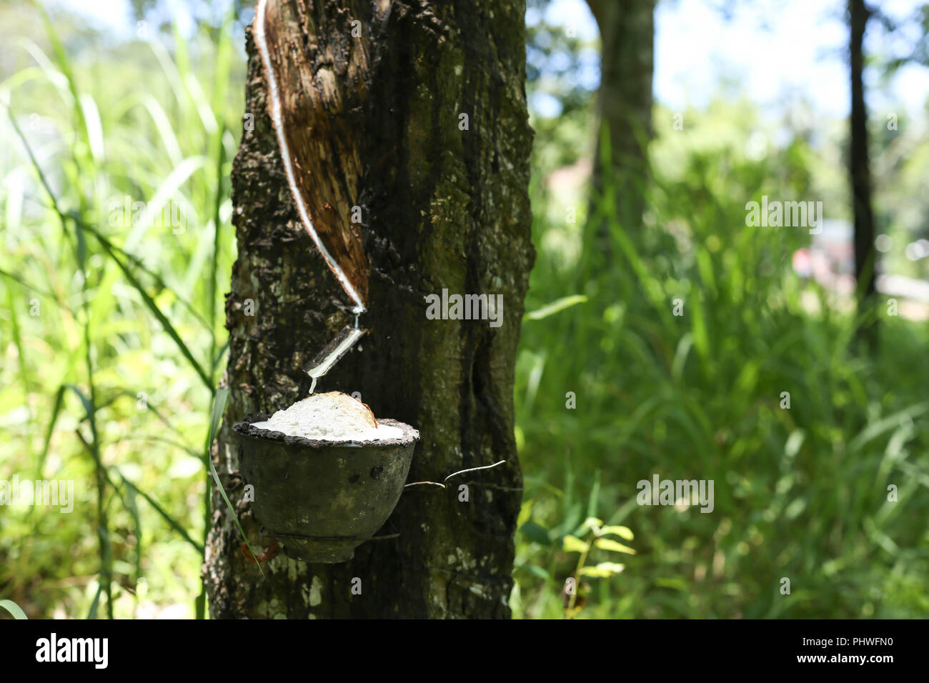 Rubber tree milk flowing into a bowl - Stock Image
