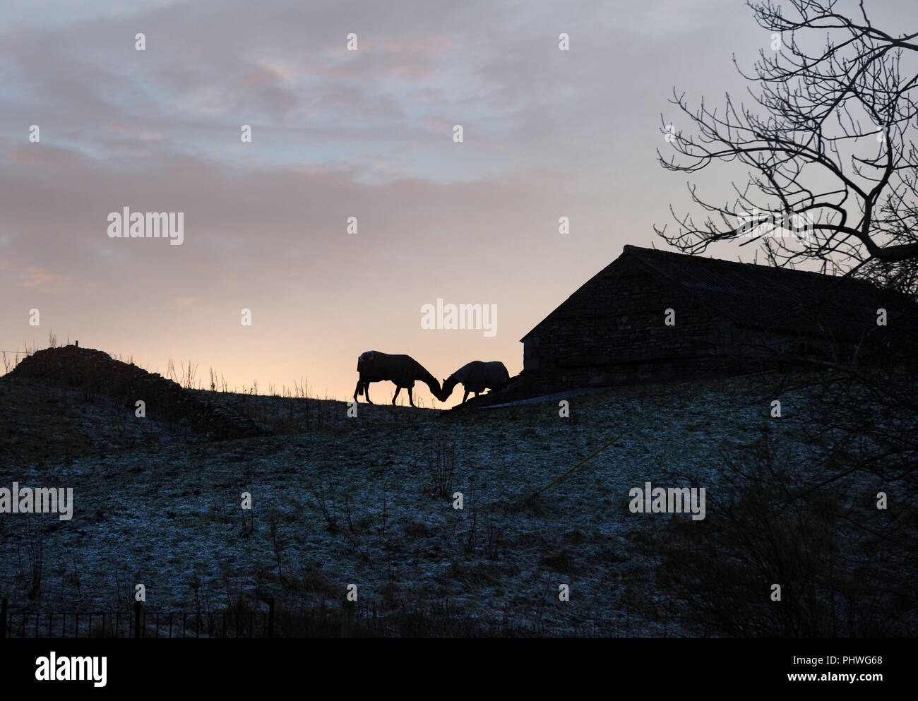 Two horses kiss beside a stone barn on a hillside in the Yorkshire Dales. The horses are seen in silhouette at sunset. Winter frost on the ground - Stock Image