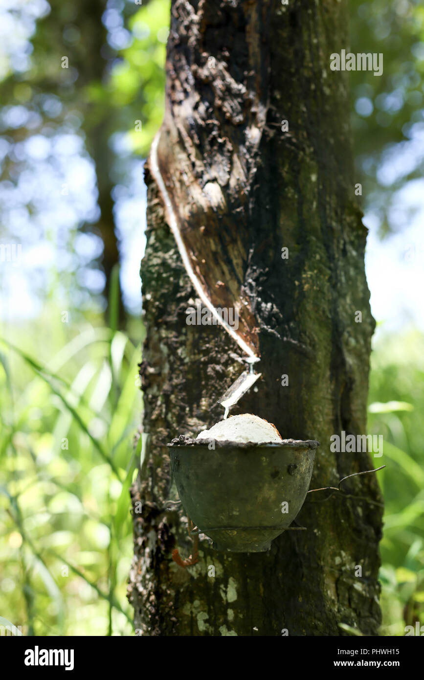 Rubber tree milk flowing into a bowl Stock Photo