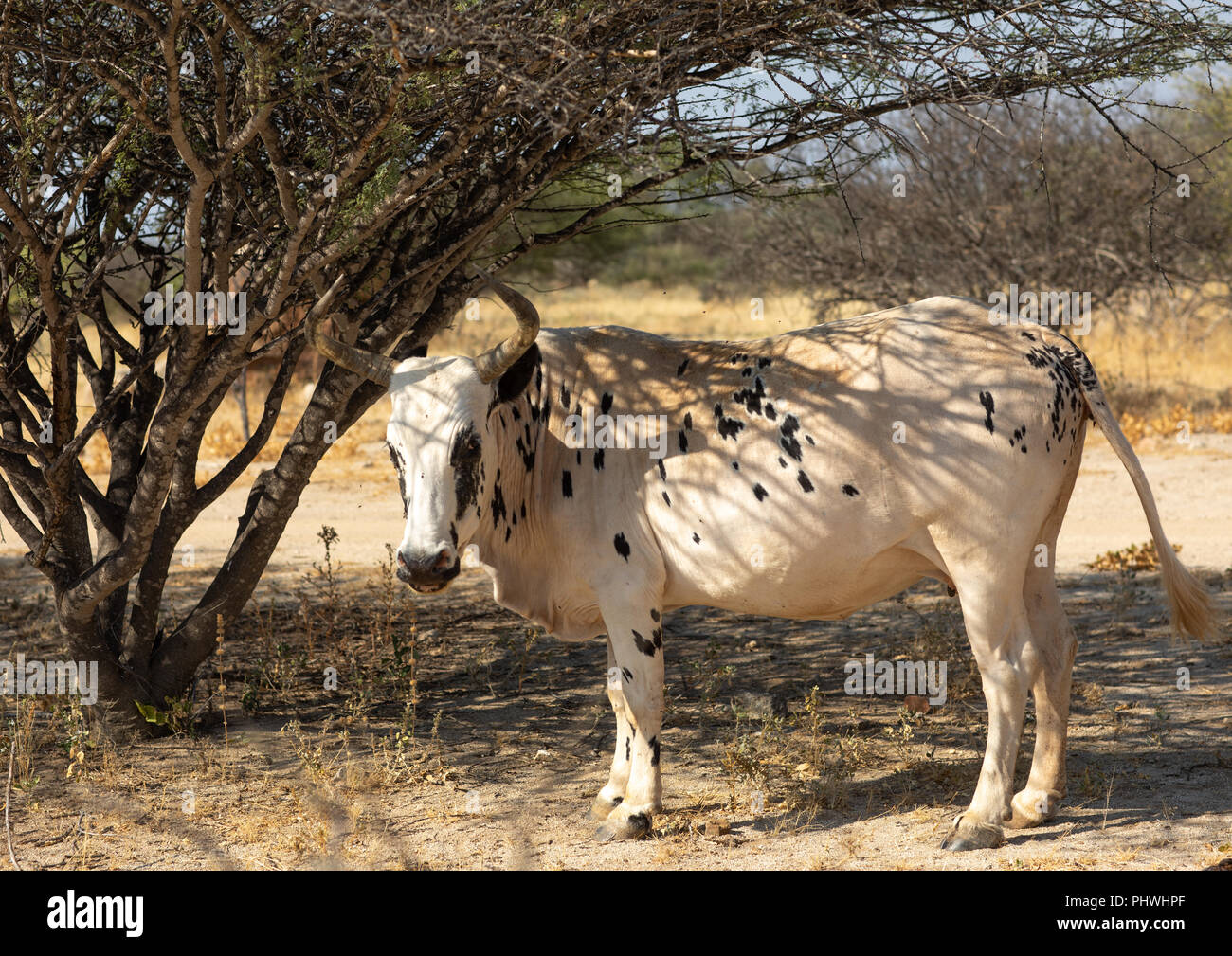 A cow walks in the bush, Namibe Province, Virei, Angola Stock Photo