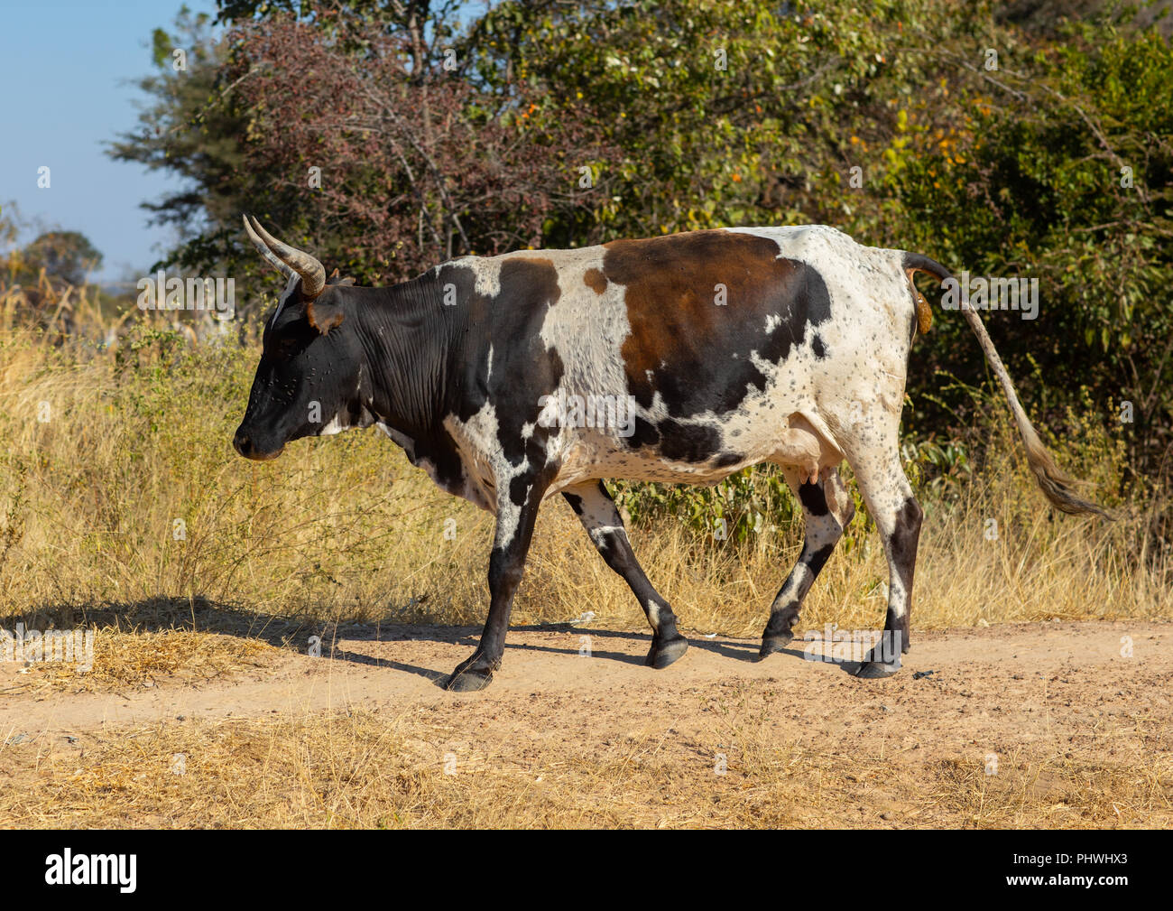 A cow walks in the bush, Huila Province, Chibia, Angola Stock Photo