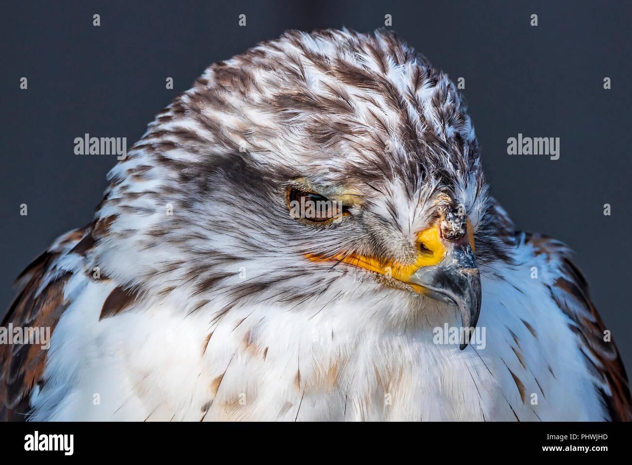 Raptor. Bird of Prey. Ferruginous hawk. Buteo reglis. Male. - Stock Image