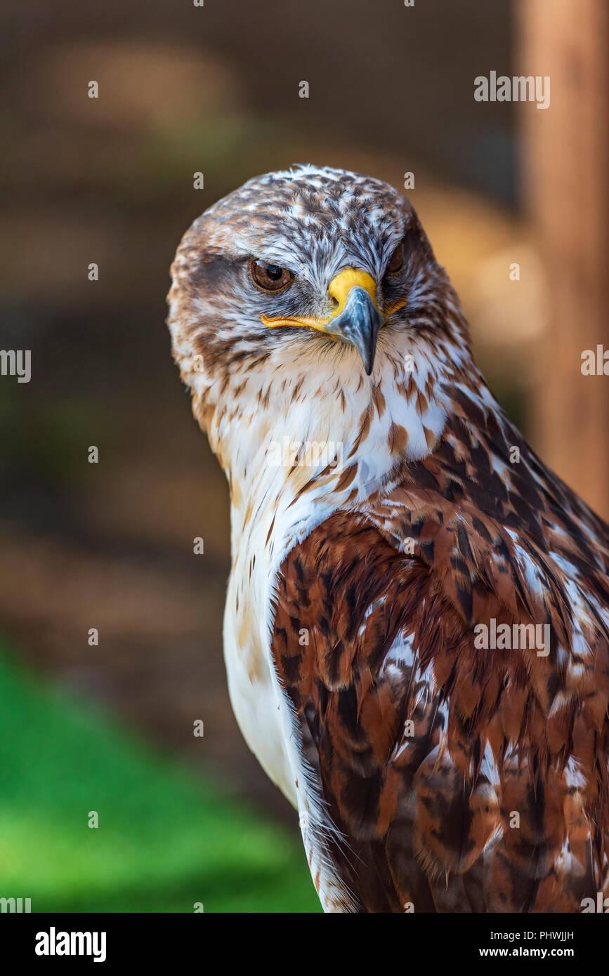 Raptor. Bird of Prey. Ferruginous hawk. Buteo reglis. Female. - Stock Image