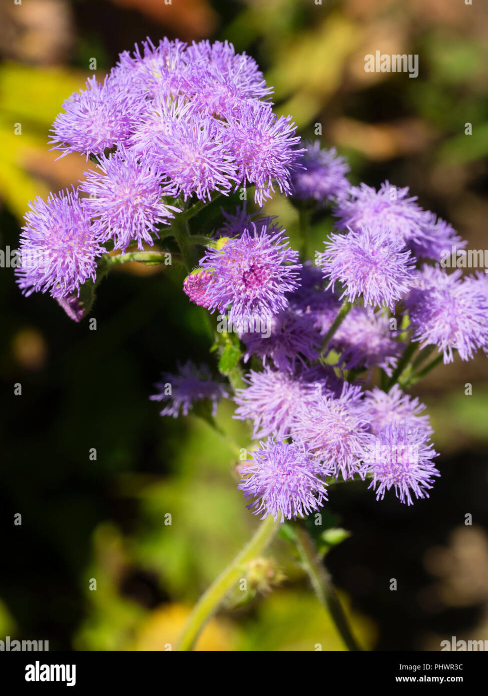 Lavender coloured flowers of the tender annual floss flower, Ageratum houstonianum 'Timeless Mixed' - Stock Image