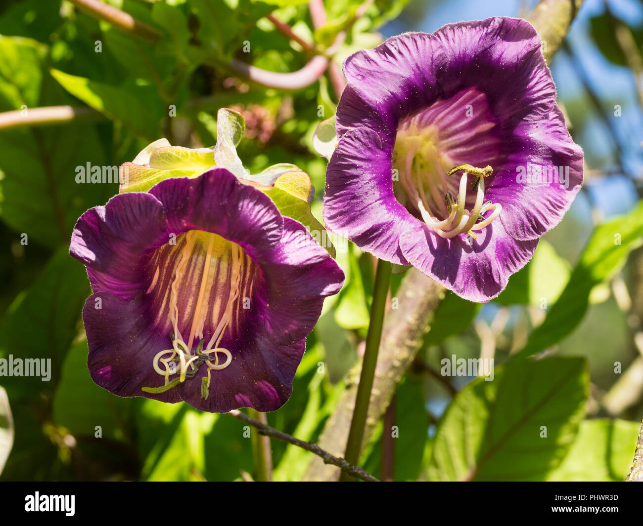 Purple bell flowers of the tender perennial cup and saucer vine, Cobaea scandens, usually grown as an annual - Stock Image