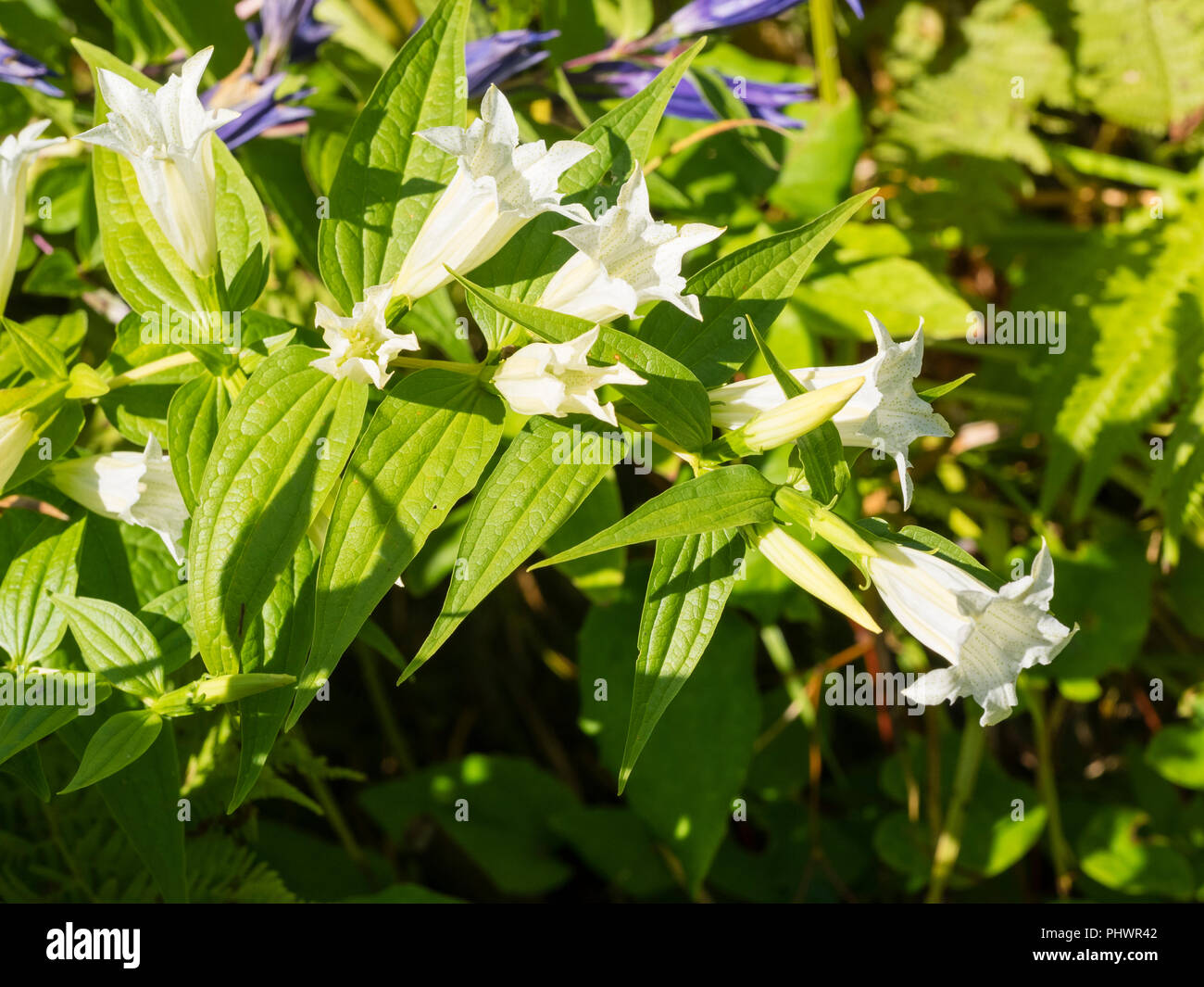 Arching stems of the hardy perennial white form of the willow gentian, Gentiana asclepiadea 'Alba' - Stock Image