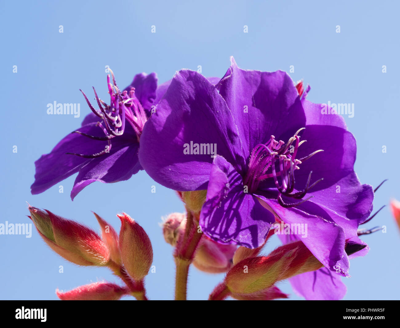 Exotic purple flowers of the autumn to winter blooming princess flower, Tibouchina semidecandra - Stock Image