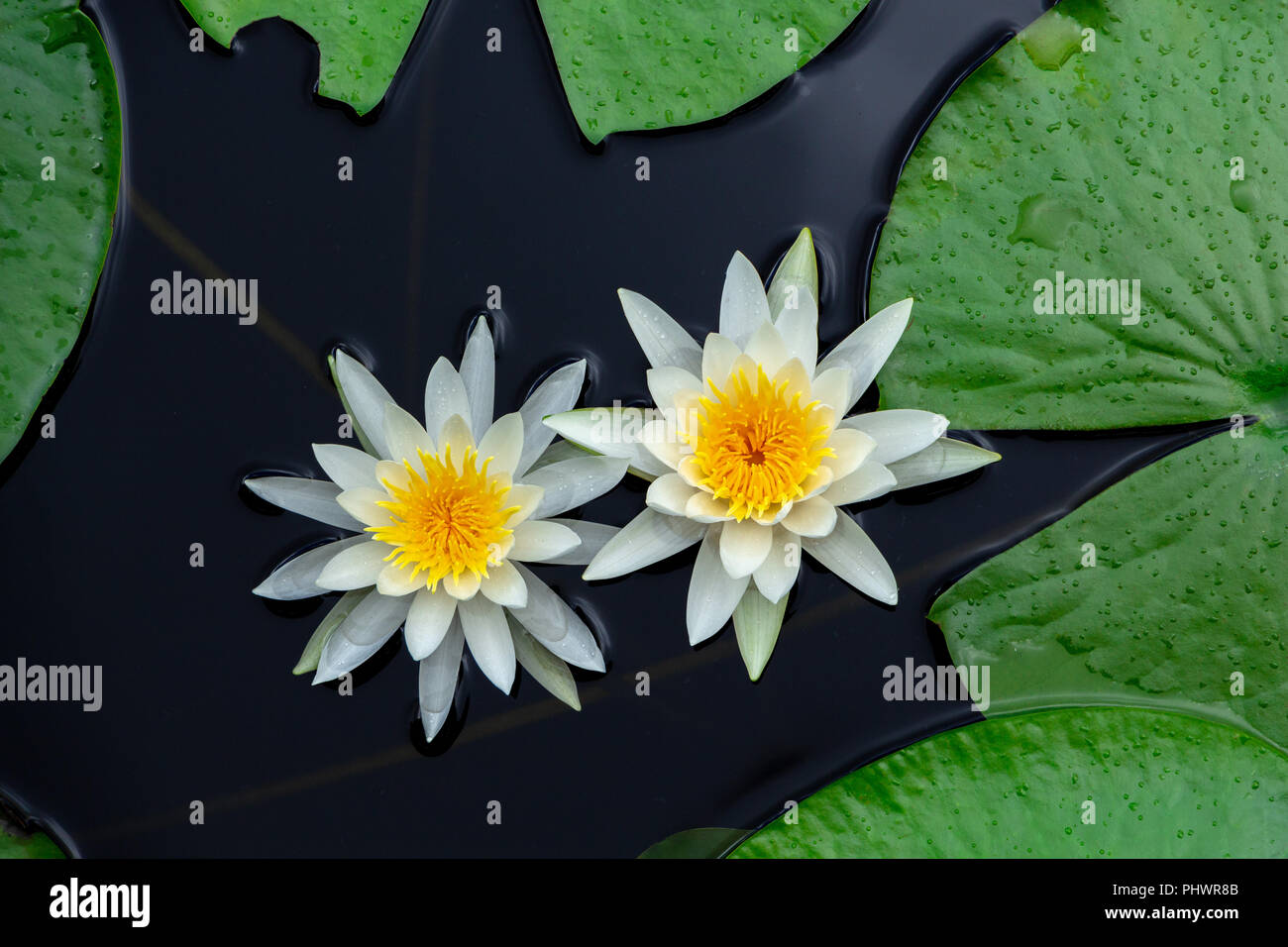 Green Lily Pads With White Flowers Stock Photos Green Lily Pads