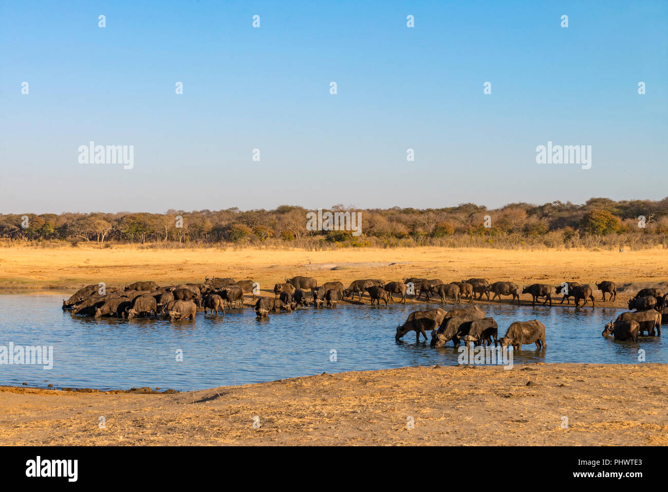A large herd of Cape Buffalo Syncerus caffer seen in Zimbabwe's Hwange National Park. - Stock Image
