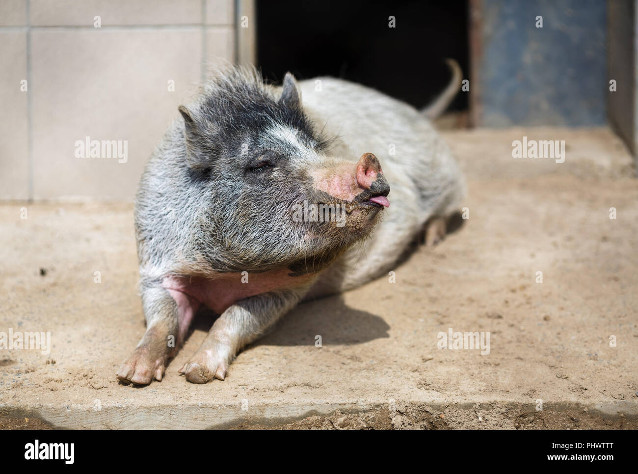 Household pig rests. Large pig in the countryside farm. - Stock Image