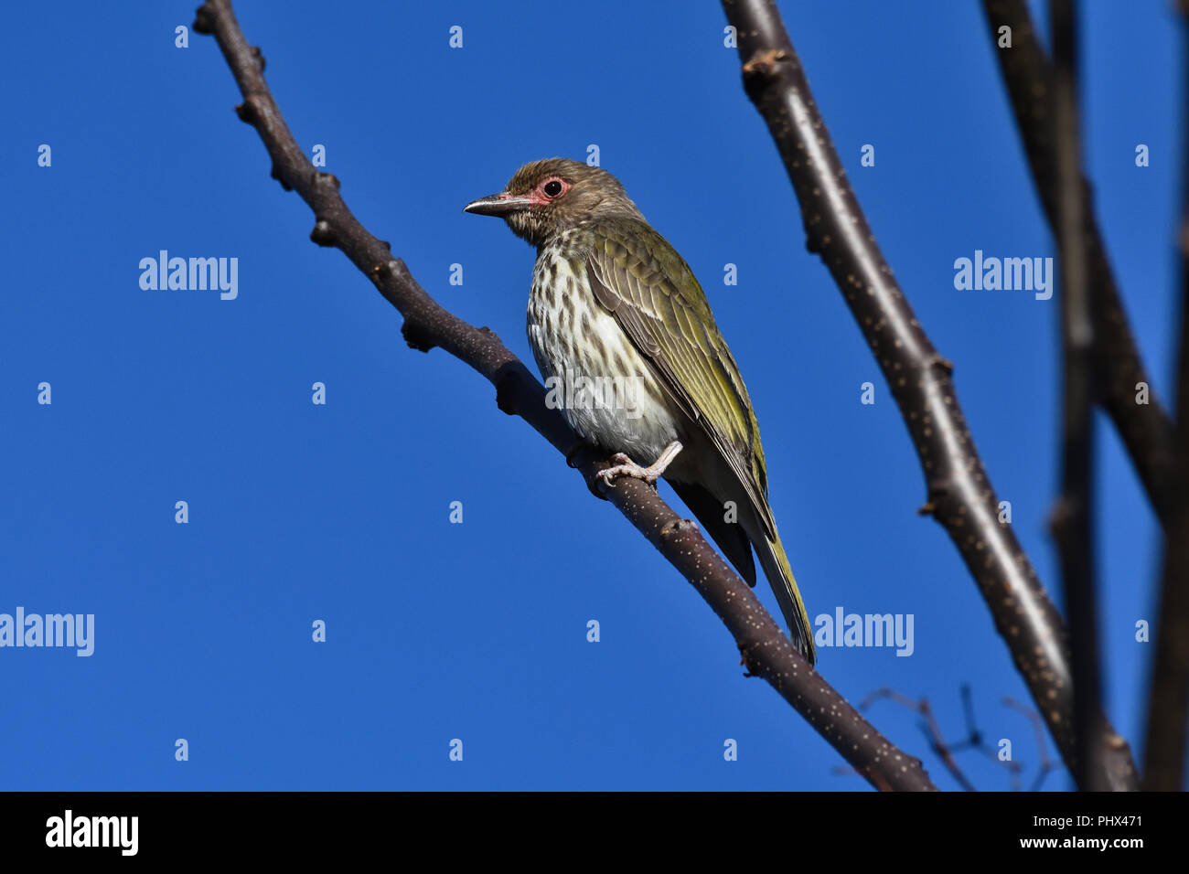 An Australian, Queensland Female Figbird ( Sphecotheres viridis ) perched on a tree branch resting Stock Photo