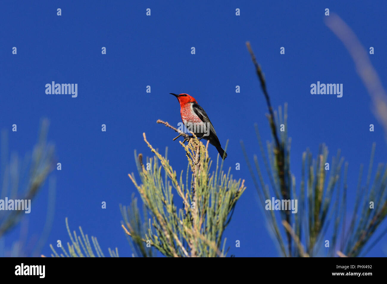 An Australian, Queensland Male Scarlet Honeyeater ( Myzomela sanguinolenta ) perched on a tree branch resting - Stock Image