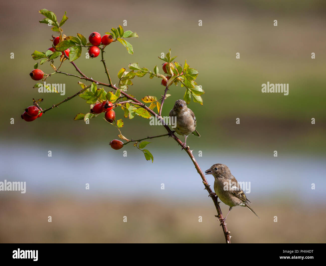 Two female or juvenile Common Chaffinches, Fringilla coelebs, perched on a branch with leaves and rose hips against a defocussed natural background. - Stock Image