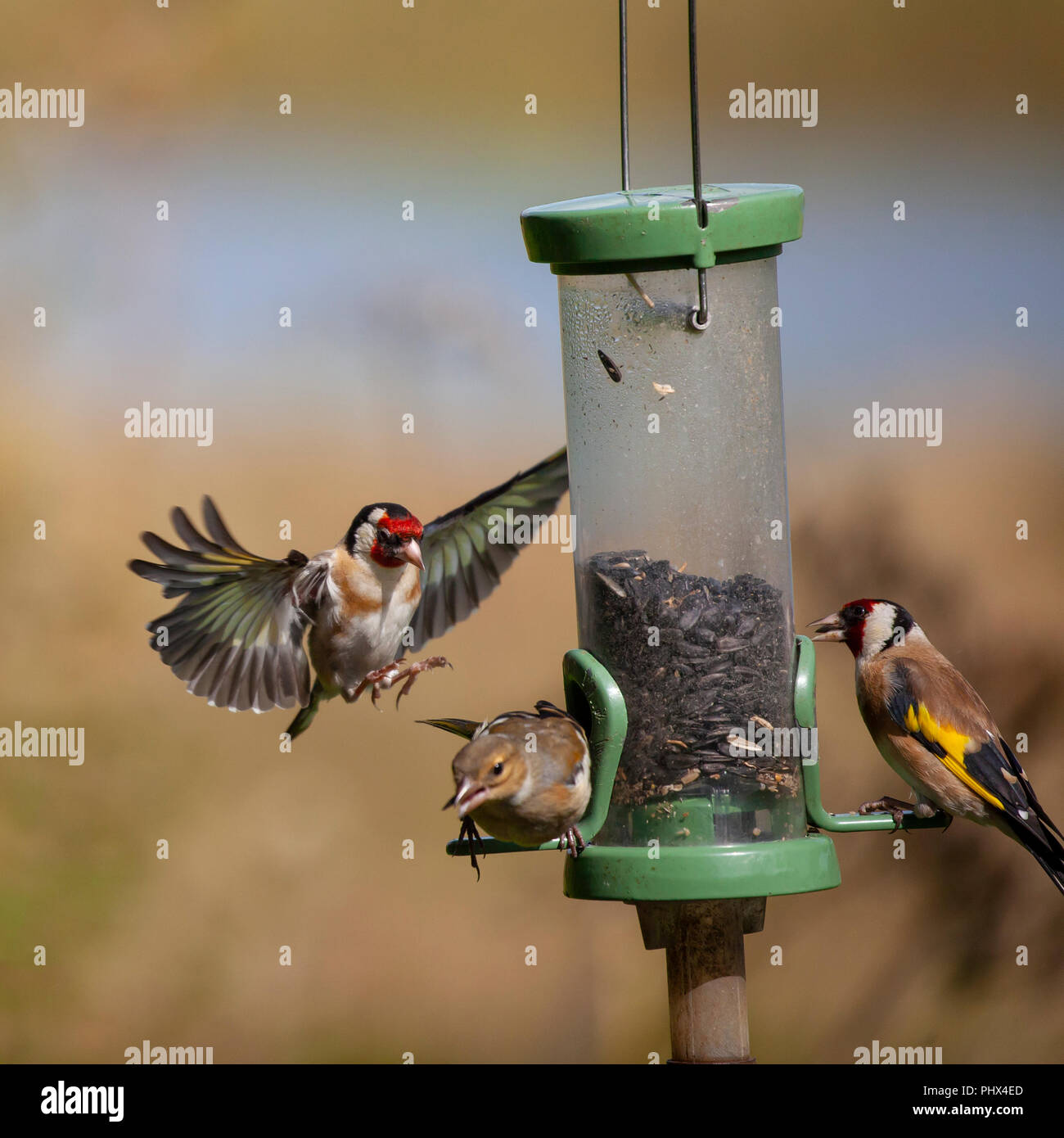 A European Goldfinch comes in to a sunflower seed feeder and a Common Chaffinch makes a hasty exit. Another Goldfinch is eating peacefully at the othe - Stock Image