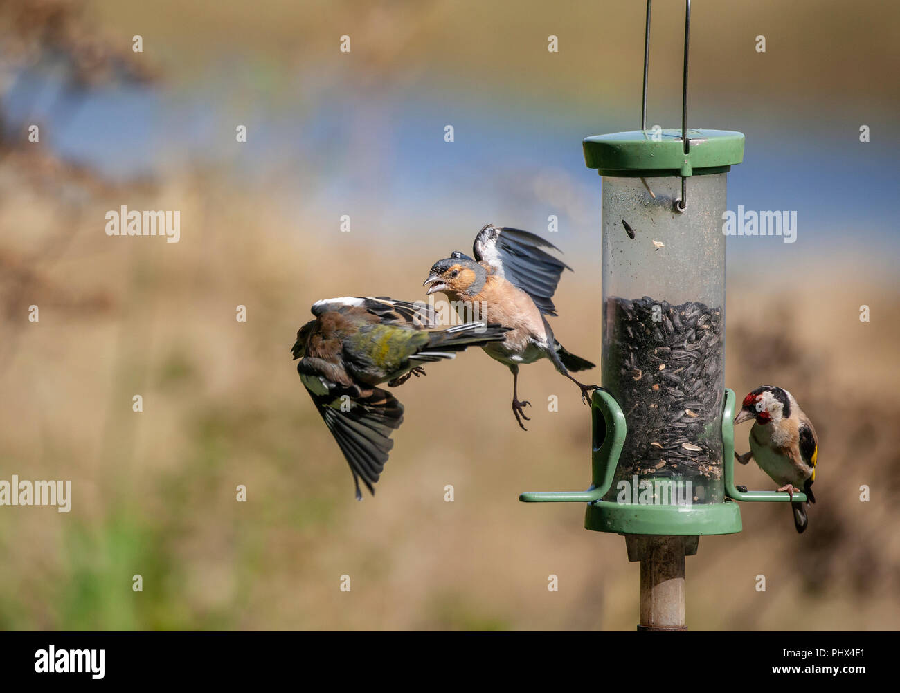 Bird feeder drama: a male Chaffinch, Fringilla coelebs, chases of another which has a seed in its beak while a Goldfinch feeds at the other side. Focu - Stock Image