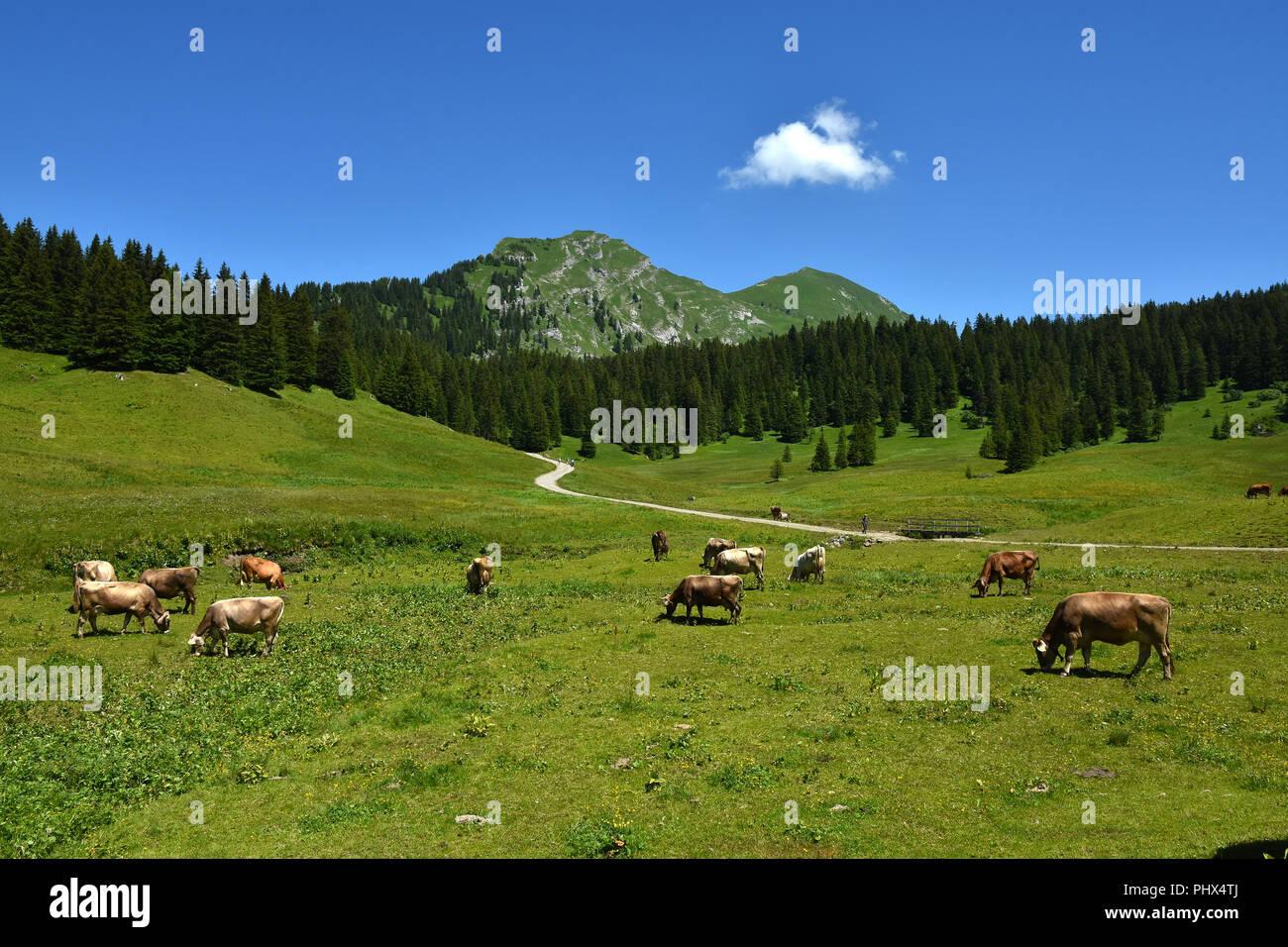 alp with cows; alps; austria; europe; Bregenzerwald; - Stock Image