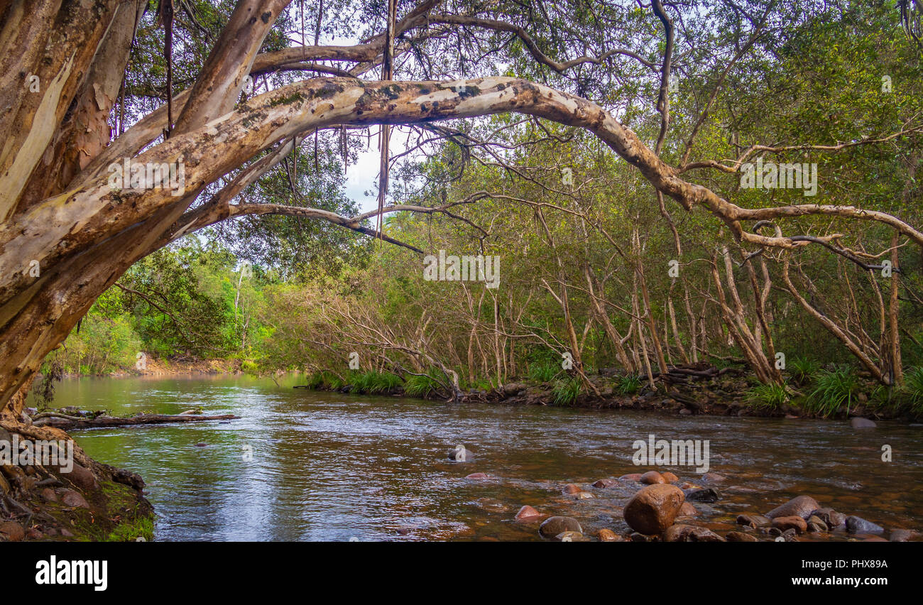 River Gum overhanging Bropadwater Creek in the Abergowrie State Forest, Queensland. Australia. - Stock Image