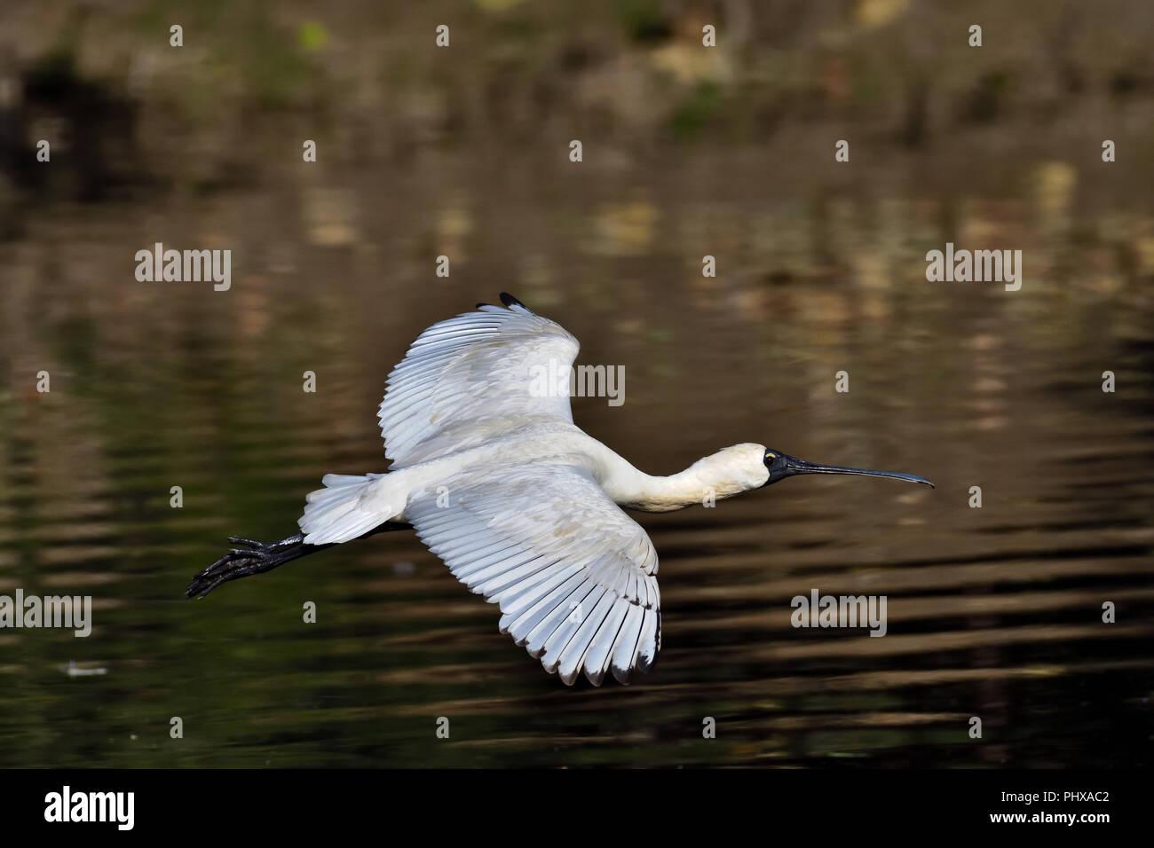 An Australian, Queensland Immature Royal Spoonbill ( Platalea regia ) flying low over a Lagoon Stock Photo