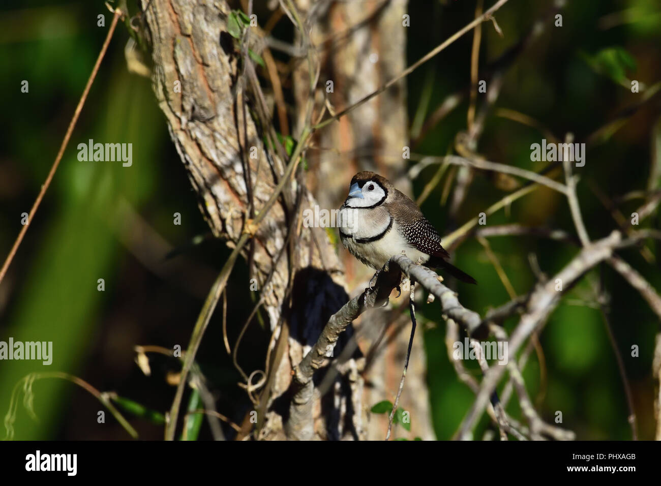 An Australian, Queensland Double-barred Finch ( Taeniopygia bichenovii ) perched on a tree branch resting Stock Photo