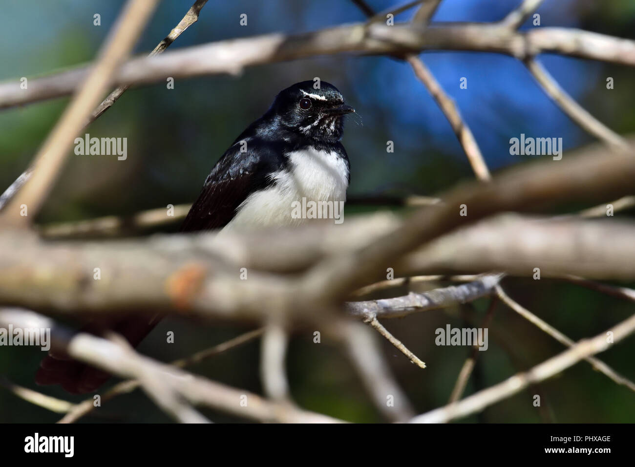 An Australian, Queensland Willie Wagtail ( Rhipidura leucophrys ) perched resting amongst dense tree branches Stock Photo