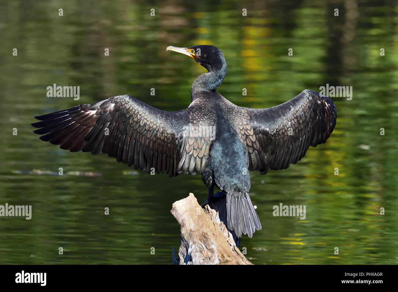 An Australian, Queensland Great Cormorant ( Phalacrocorax carbo ) drying its wings perched on an old log in a Lagoon - Stock Image