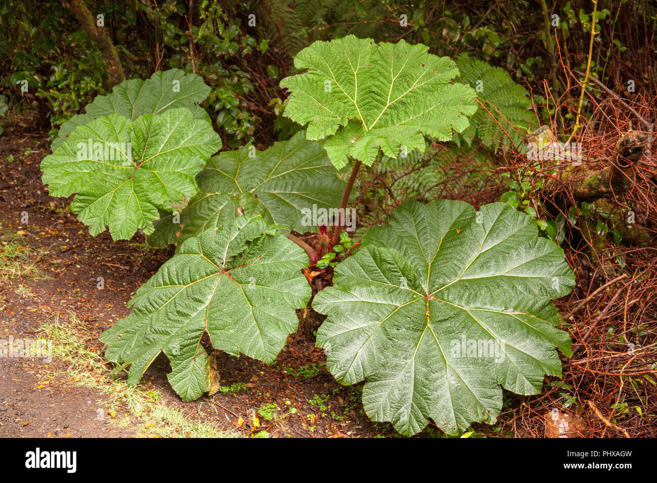 Poas Volcano National Park, Costa Rica, Central America.  The Poor Man's Umbrella plant, Gunnera insignis, a broad-leaved rainforest ground plant, is  - Stock Image