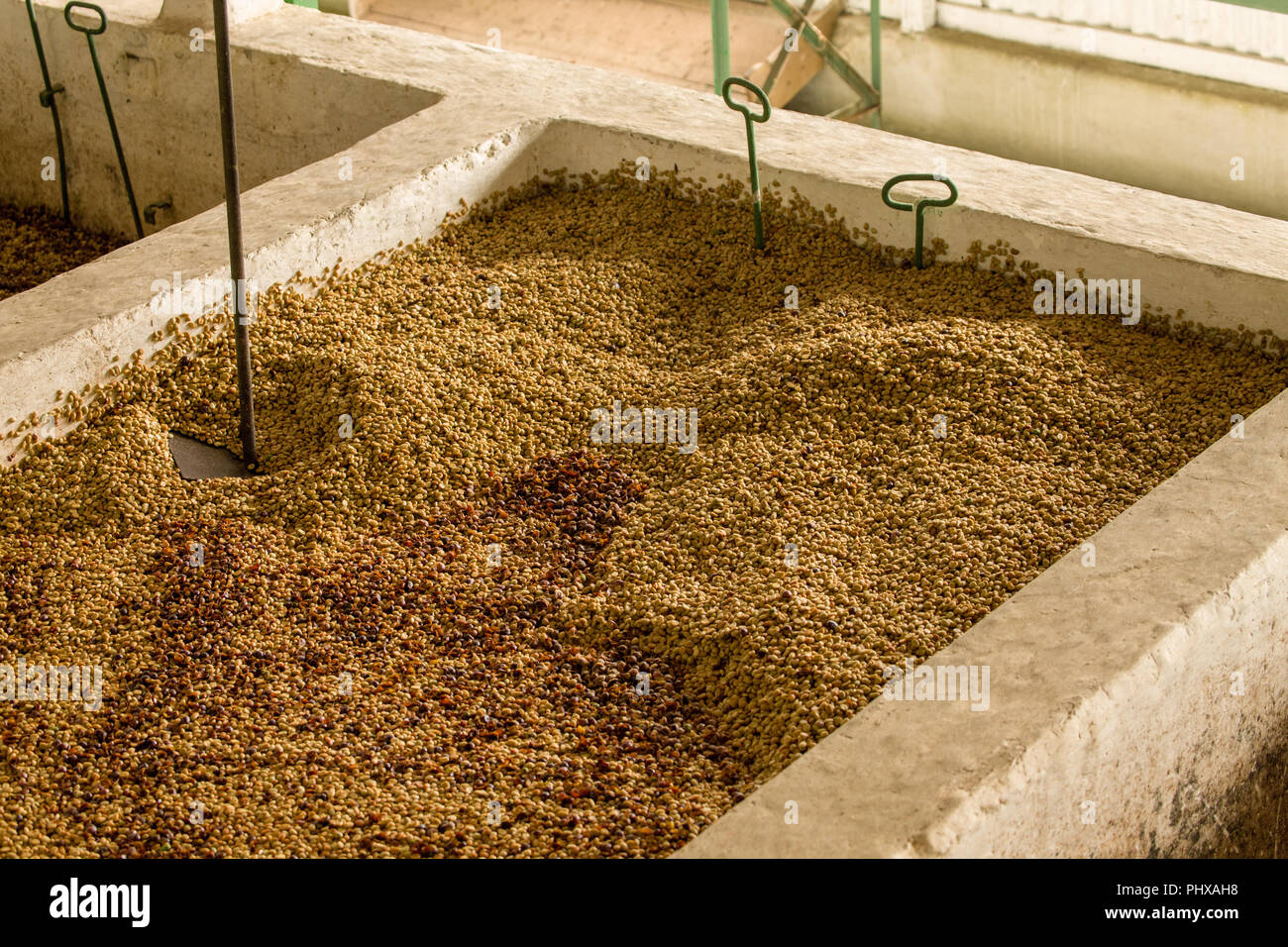 Poas Volcano area, Costa Rica, Central America.  Washing coffee beans.  The bean with its mucilage is fermented in water for at least one to two days  Stock Photo