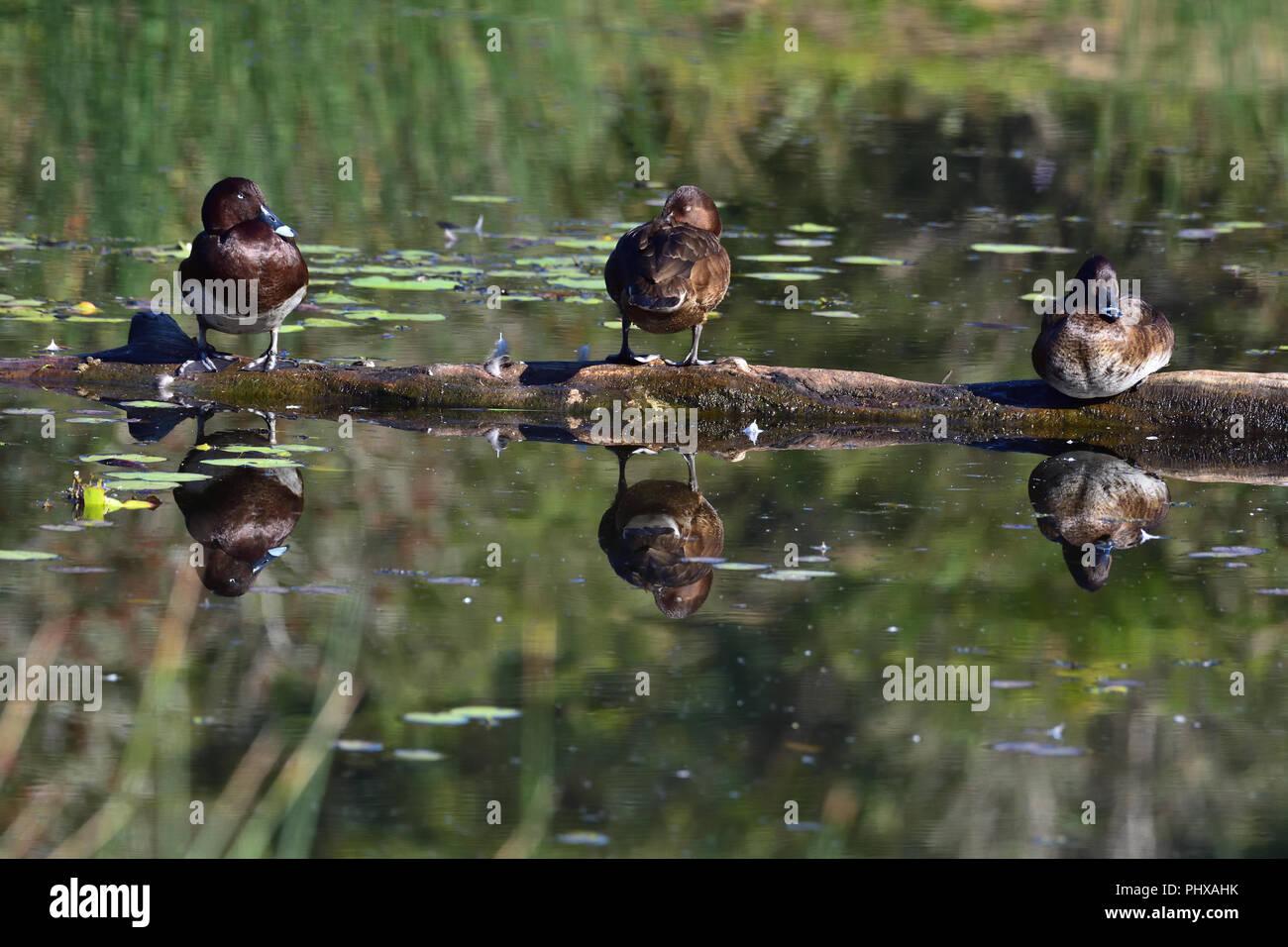 Three Australian, Queensland Hardhead Ducks ( Aythya australis ) resting on a log in a Lagoon - Stock Image
