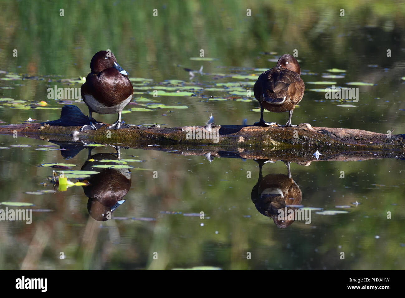 Two Australian, Queensland Hardhead Ducks ( Aythya australis ) resting on a log in a Lagoon - Stock Image