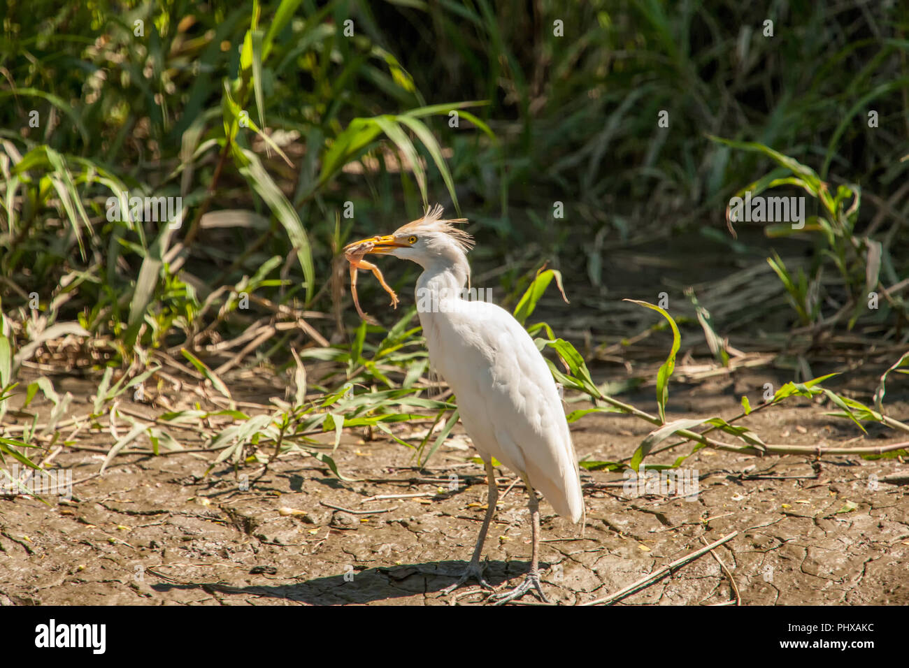 Cattle Egret (Bubulcus ibis) eating a frog, seen on a boat ride on the Tempisque River in Palo Verde National Park, Costa Rica - Stock Image