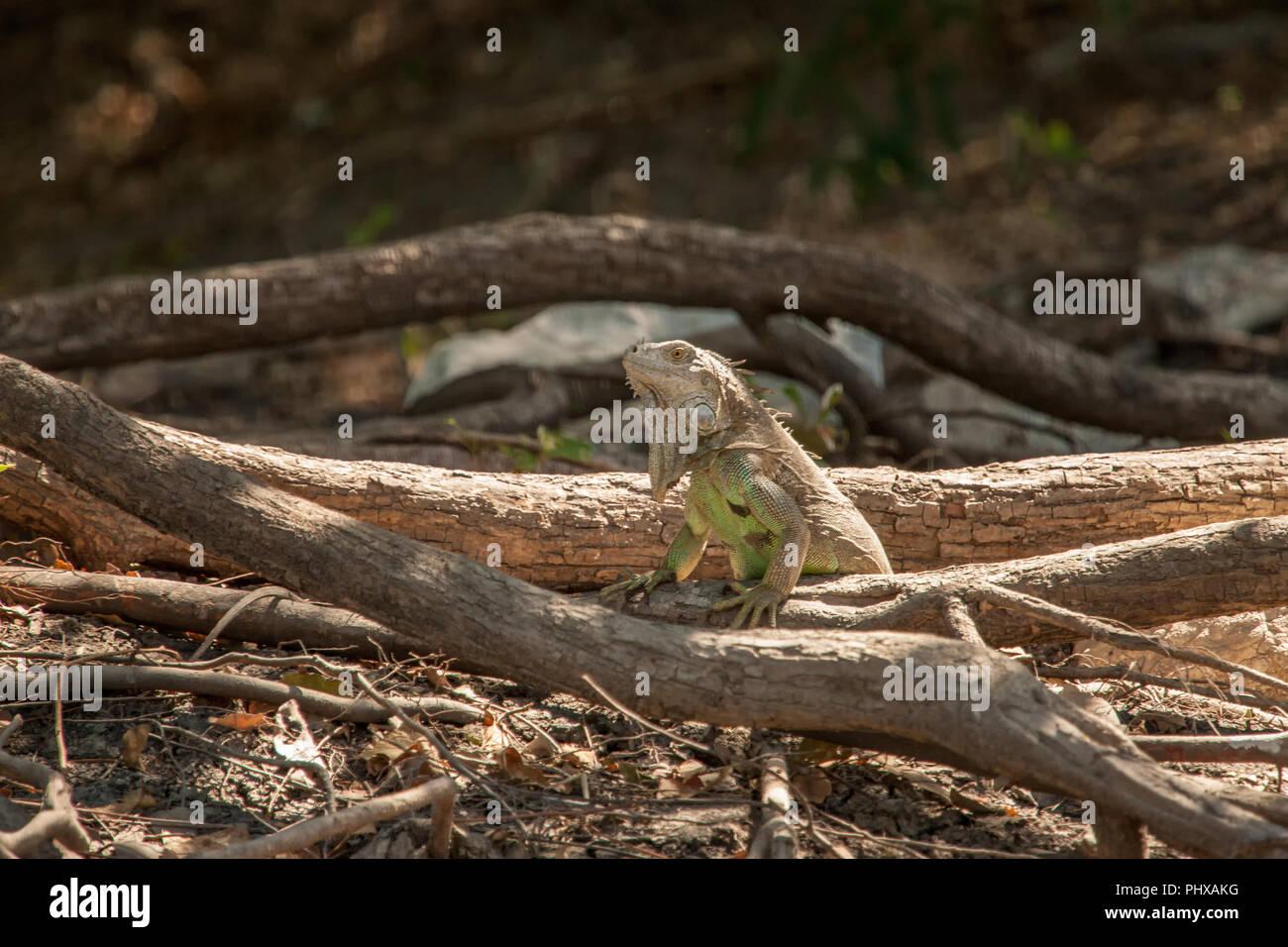 Palo Verde National Park, Costa Rica, Central America. Green Iguana (Iguana iguana) beside the Tempisque River - Stock Image